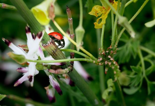 Closeup tiro de uma joaninha em uma flor com efeito desfocado