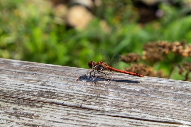 Closeup tiro de uma libélula em uma superfície de madeira