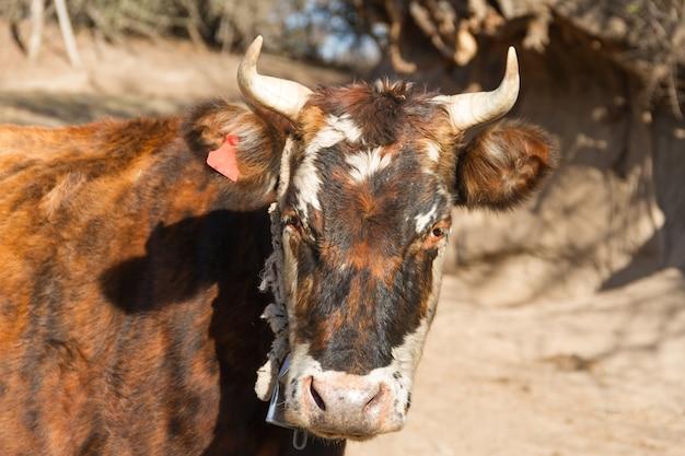 Closeup tiro de uma linda vaca colorida com chifres