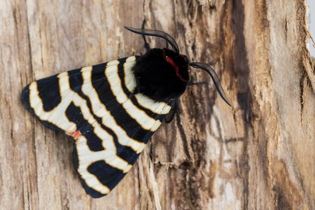 Closeup tiro de uma mariposa preta e branca em uma superfície de madeira