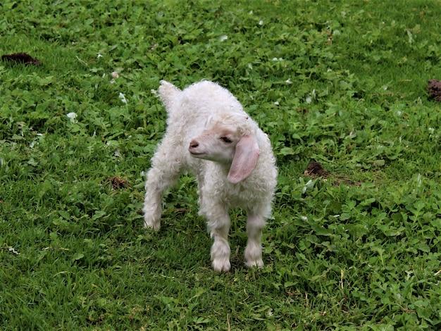Closeup tiro de uma ovelha bebê em um campo coberto de vegetação sob a luz do sol durante o dia