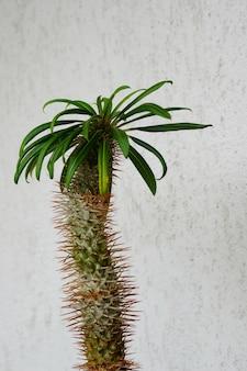 Closeup tiro de uma planta de palmeira de madagascar contra uma parede de concreto branca