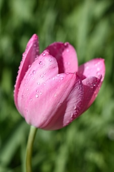 Closeup tiro de uma tulipa rosa coberta com gotas de orvalho