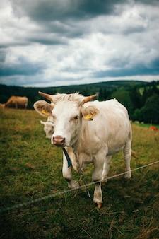 Closeup tiro de uma vaca em um prado verde, olhando para o futuro - perfeito para um plano de fundo
