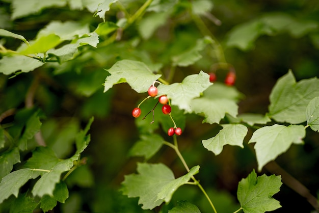 Closeup tiro de vermelhas pequenas frutas crescendo no galho rodeado de folhas verdes