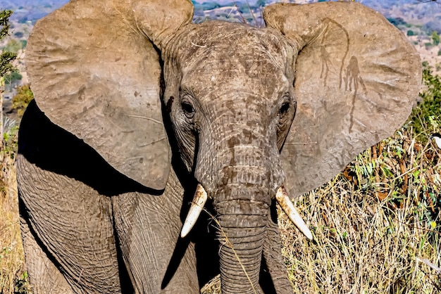 Closeup tiro do rosto de um elefante fofo com orelhas grandes no meio do deserto