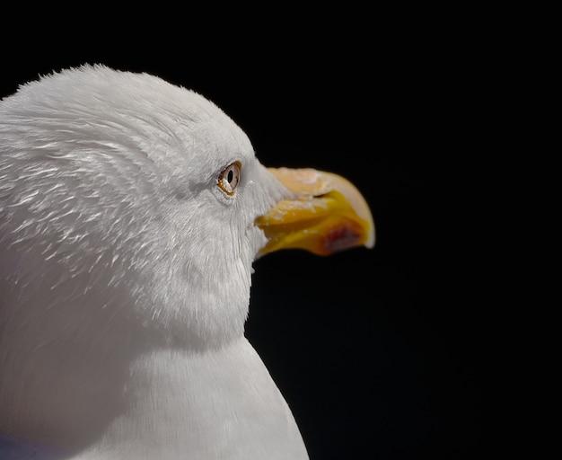 Closeup tiro do rosto de uma gaivota isolada em fundo escuro
