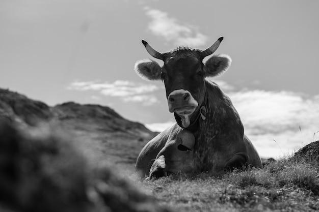 Closeup tiro em tons de cinza de uma vaca deitada em um campo