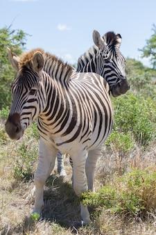 Closeup tiro vertical de zebras em um campo