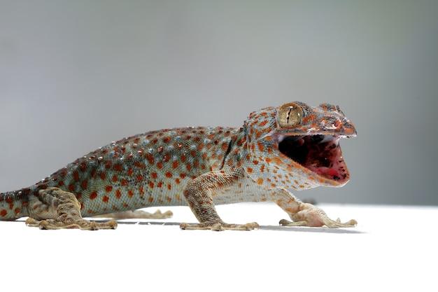 Closeup tokek com animal de fundo cinza