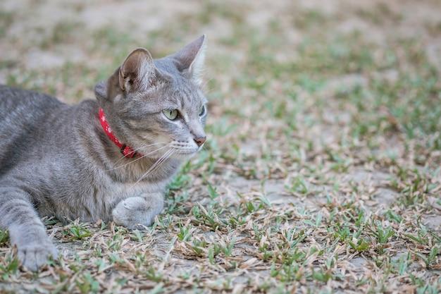 Closeup, um gato cinzento mentiu no campo de grama no jardim texturizado fundo com espaço de cópia