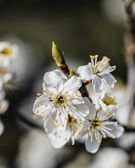 Closeup visão de foco seletivo de uma incrível flor de cerejeira sob a luz do sol