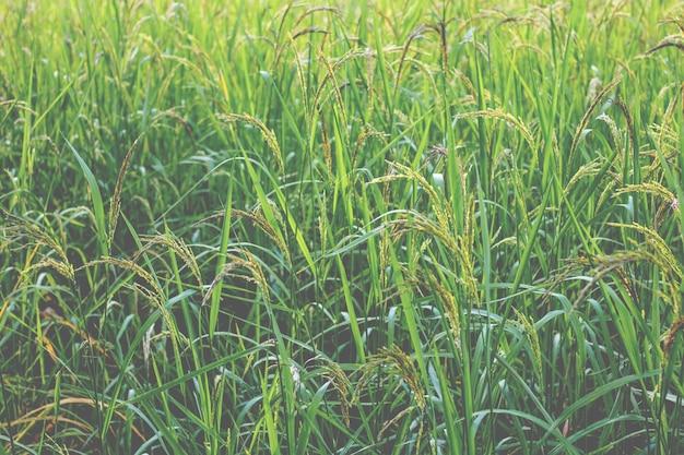 Closeup, vista, de, arroz paddy, em, a, arroz, terraços, de, tailandia