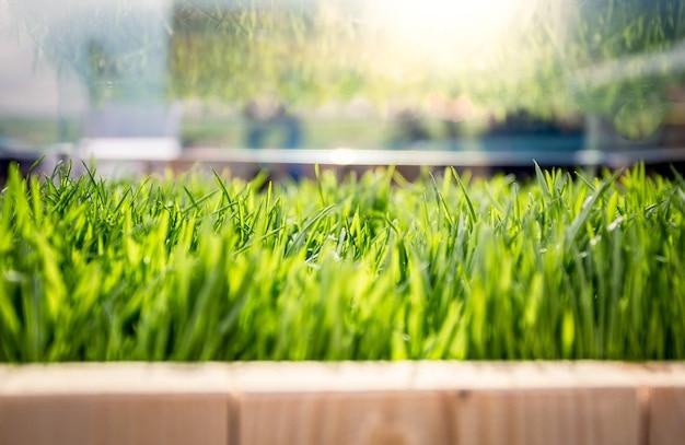 Closeup vista de grama verde fresca crescendo em madeira em dia ensolarado