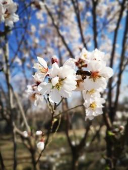 Closeup vista de lindas flores em flor de amendoeira