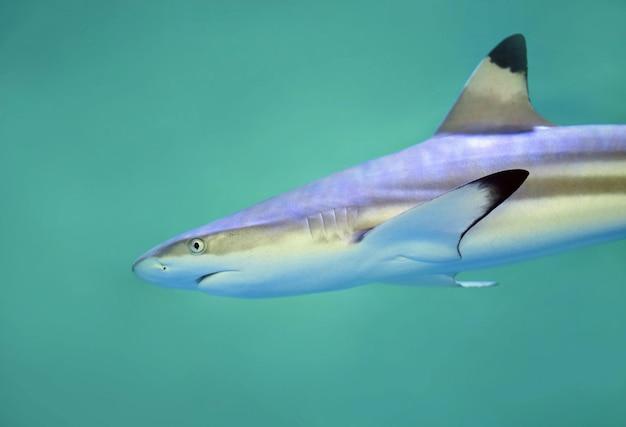Closeup vista de um tubarão marrom e cinza no mar verde