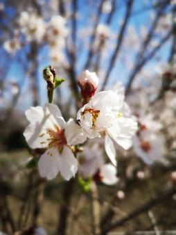 Closeup vista de uma bela flor em flor de amendoeira