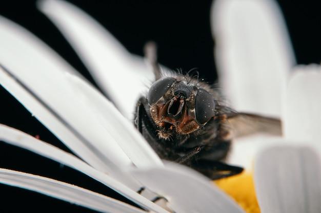 Closeup vista de uma mosca sentada em uma margarida isolada em uma parede preta