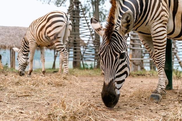 Closeup zebra comendo grama