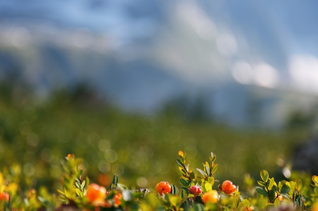 Cloudberry cresce na floresta. carélia do norte.