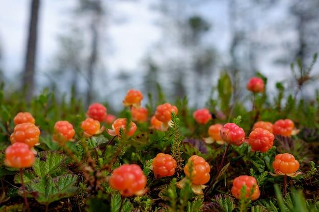 Cloudberry cresce na floresta