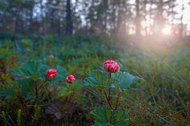 Cloudberry do norte na floresta ao pôr do sol.