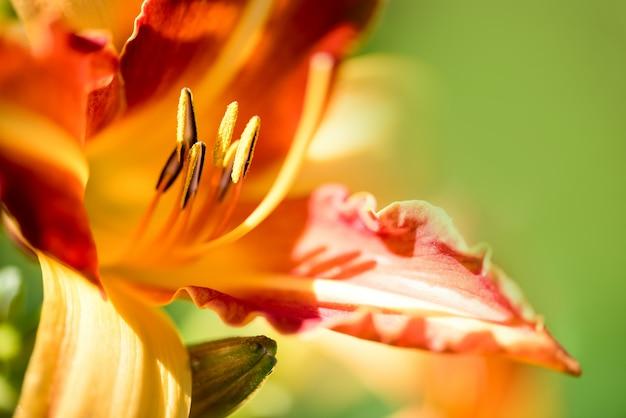 Clouse up lírio bonito, flor amarela e laranja.