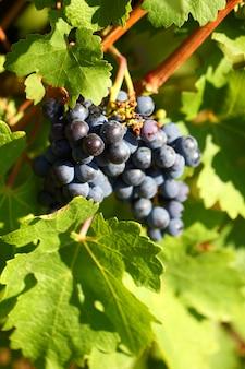 Cluster de uva com bagas escuras azuis penduradas e amadurecendo em um arbusto com folhas.