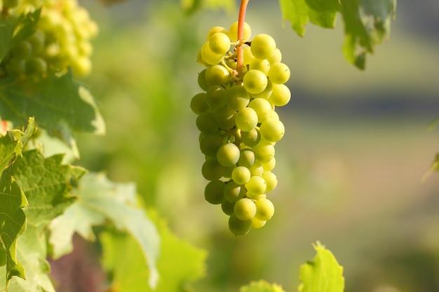 Cluster de uva com bagas penduradas e amadurecendo em um arbusto com folhas