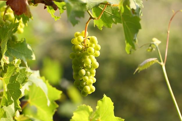 Cluster de uva com bagas penduradas e amadurecendo em um arbusto entre folhas