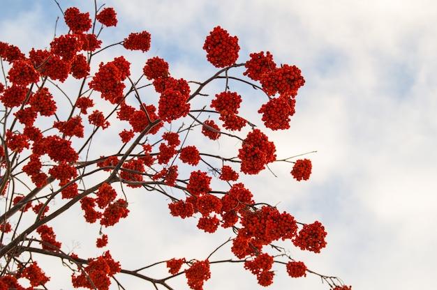 Clusters vermelhos de inverno congelado cinza de montanha no céu azul