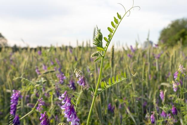 Co-cultivo de brotos verdes de vicia villosa jovem e trigo em um campo de fazenda experimental