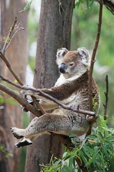 Coala em uma árvore