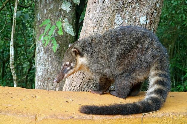 Coati, uma das muitas criaturas semelhantes a guaxinins encontradas no parque nacional das cataratas do iguaçu, argentina