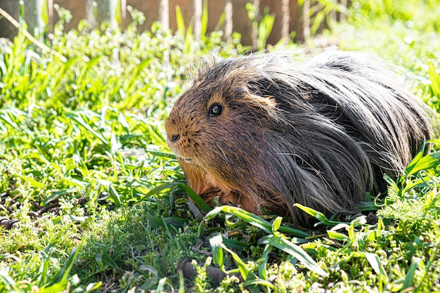 Cobaia bonito na grama verde no jardim