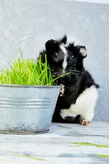 Cobaia de blacck perto do vaso com grama fresca.