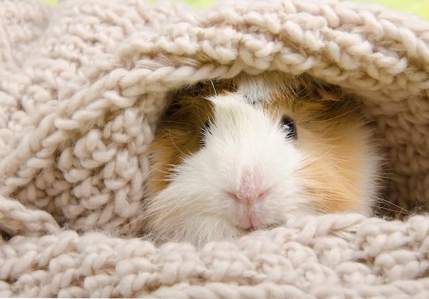 Cobaia em um lenço
