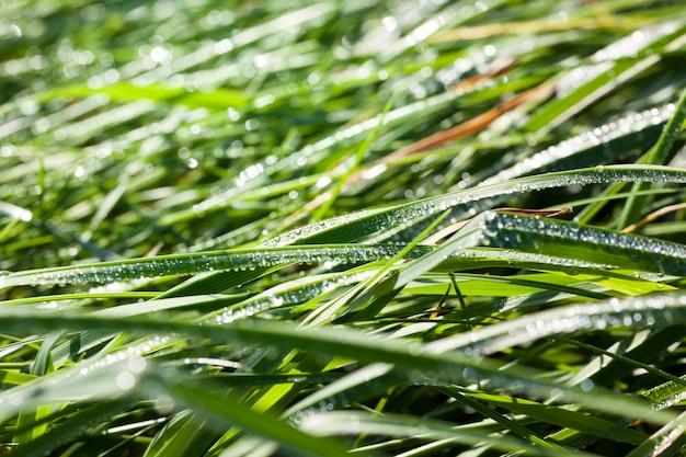 Coberto com gotas de água um close-up de grama verde, detalhes em caules e brotos de grama formando bolas de orvalho após a noite