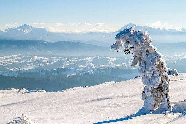 Coberto de neve pequeno pinheiro dobrado nas montanhas de inverno