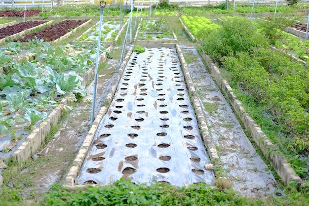 Cobertura de plástico usada para suprimir ervas daninhas com um buraco para o cultivo de plantas em canteiros de hortaliças