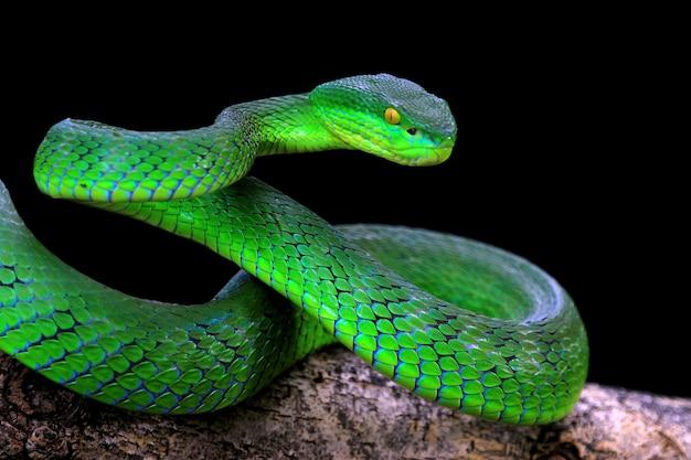 Cobra albolaris verde com fundo preto