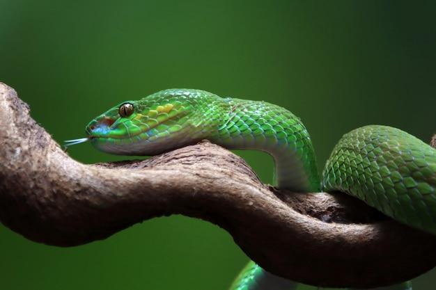 Cobra albolaris verde, vista lateral, closeup animal, víbora verde, cobra, closeup, cabeça