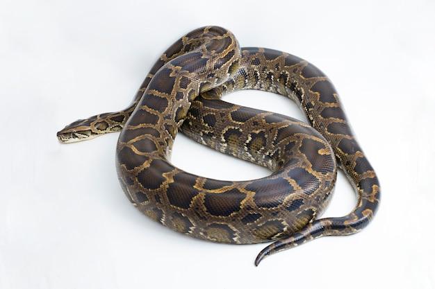 Cobra burmese python python molurus bivittatus isolado no fundo branco