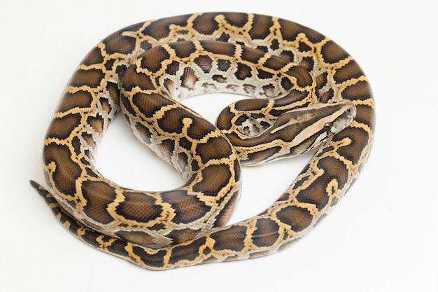 Cobra burmese python python molurus bivittatus isolado