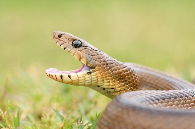 Cobra da escada (zamenis scalaris) com fome