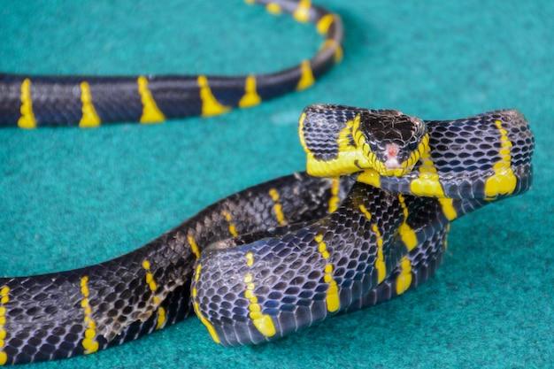 Cobra de mangue com faixas (boiga dendrophila melanota). tailândia.