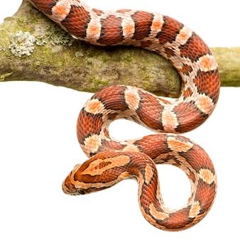 Cobra de milho branco