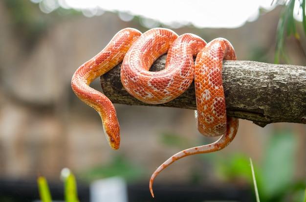 Cobra de milho em um galho