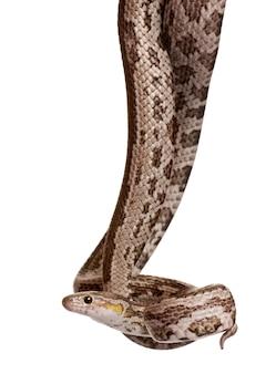 Cobra de rato de baird ou cobra de rato de baird ou cobra piloto de baird, elaphe bairdi,