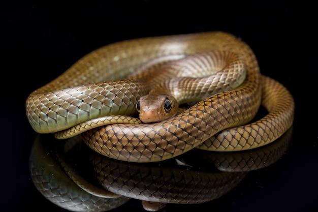 Cobra de rato indo-chinesa isolada no preto